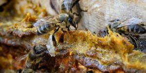 arılar propolis