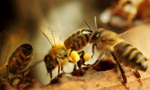 Arılar Propolisi Nasıl Toplar