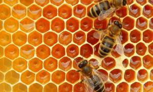 arılar yavrularını propolise emanet ediyor